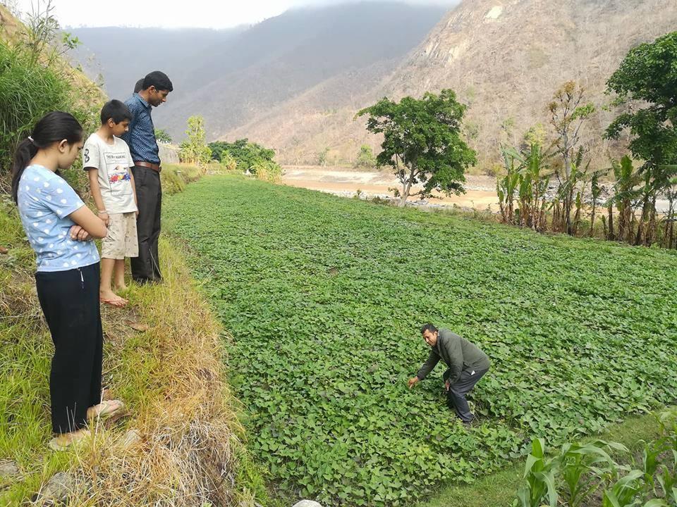 सखरखण्डको व्यवसायिक खेती लोकप्रिय हुँदै