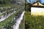 अकबरे खेतीमा आकर्षण, किलोको छ सयमा विक्री